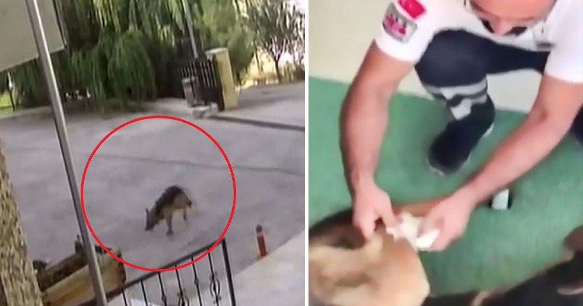 hddg.jpg?resize=636,358 - Cão vai para um hospital por conta própria, após ser atacado por um grupo de cachorros de rua