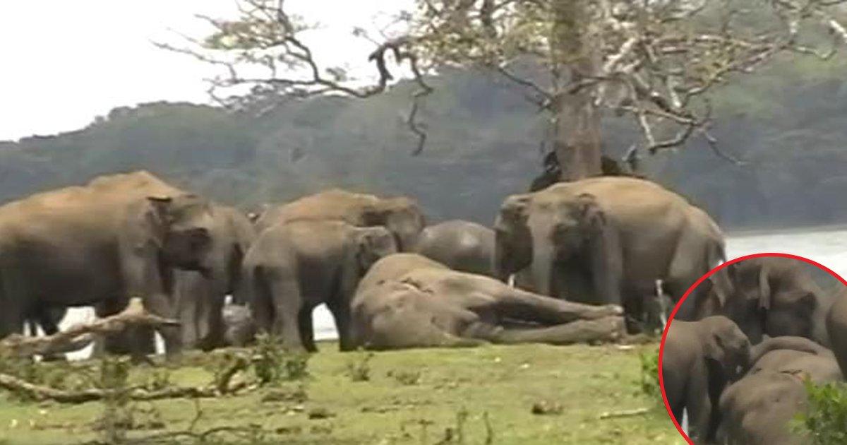 hff 2.jpg?resize=648,365 - Mais de 300 elefantes se reúnem para prestar homenagem ao seu líder morto