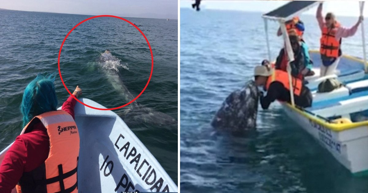 hhf.jpg?resize=300,169 - Grey Whale Pushes A Boat Full Of Tourists Being Playful With Them