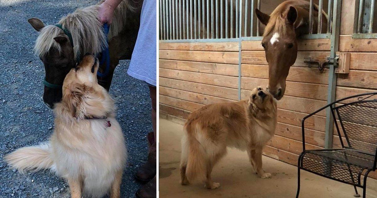 hhh 2.jpg?resize=1200,630 - Un golden retriever se lit d'amitié d'une façon adorable avec un cheval miniature secouru