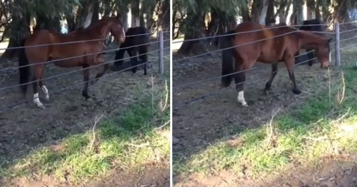 hhh.jpg?resize=412,232 - Funny Video Of A Horse Slipping Through A Roped Fence Is Making People Burst Out Of Laughter