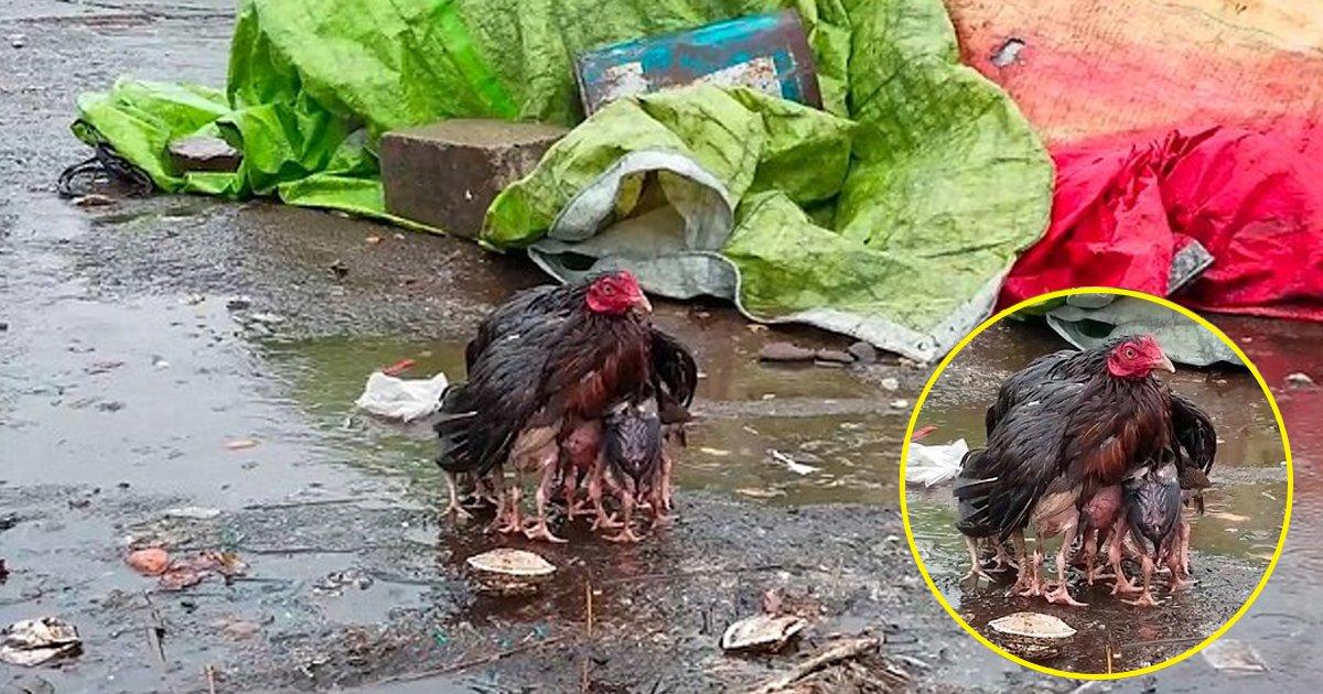 hhhh.jpg?resize=412,232 - L'amour d'une mère est infini. Cette poule protège ses poussins de la pluie en les couvrant sous ses ailes.