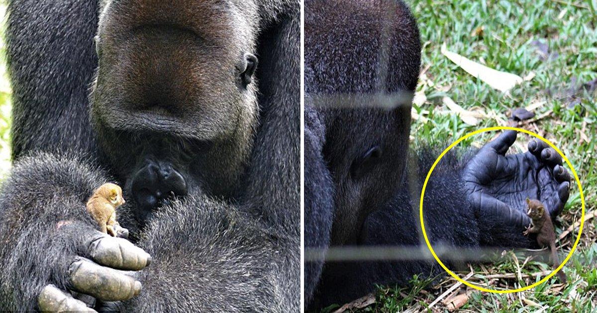 jkk.jpg?resize=648,365 - [Vidéo] instant mignon : un énorme gorille prend soin d'un minuscule bébé galago.