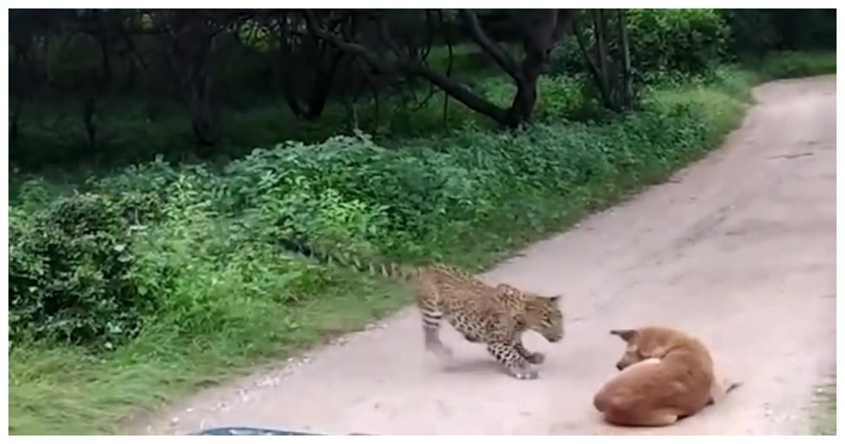 leopard.jpg?resize=636,358 - Dog Holds Its Ground Against A Leopard That Attempted To Attack It In Indian Safari