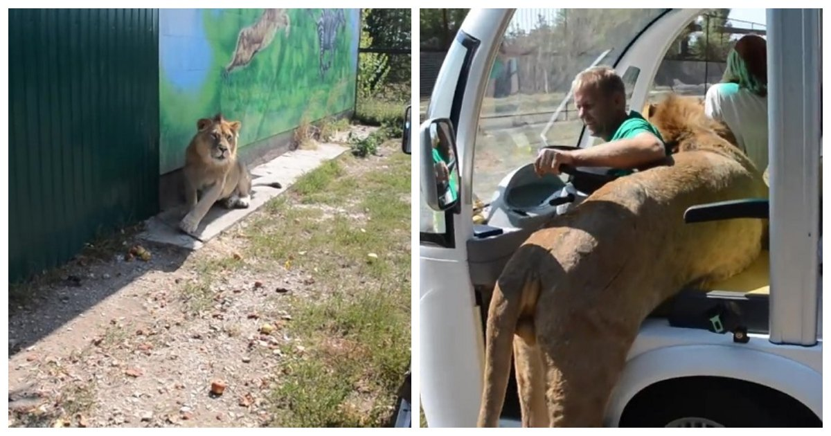 "lion.jpg?resize=300,169 - Lion ""Hungry"" For A Cuddle Jumps Into Tourist-Filled Safari Truck In At Taigan Safari Park"
