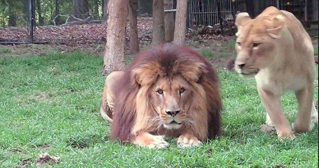 lioness-2