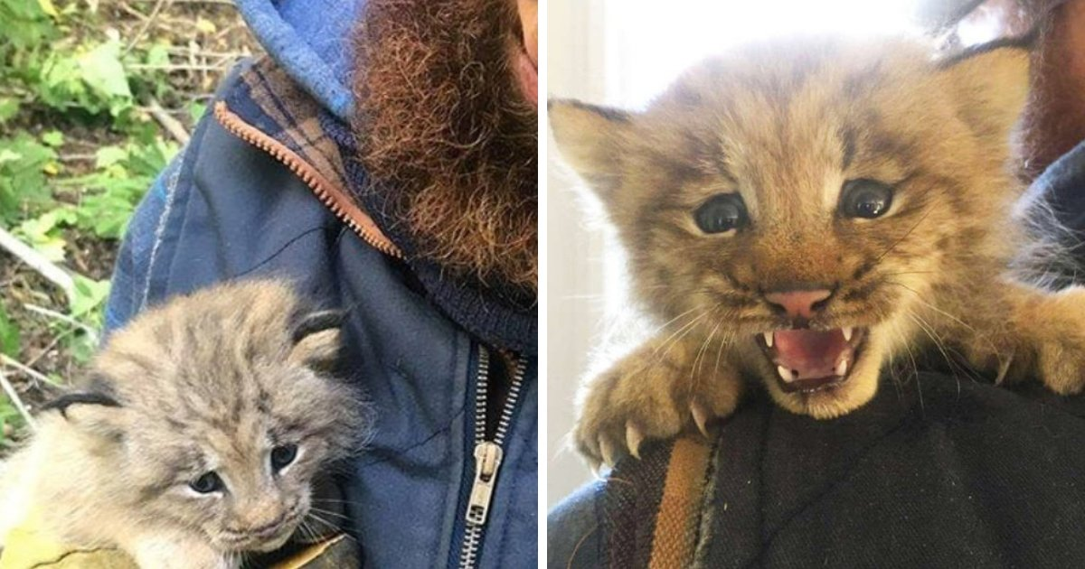 lynx5.png?resize=412,232 - Man Found Adorable Kitten In Woods, Took It To His Arms And Realized It Wasn't An Ordinary Kitten