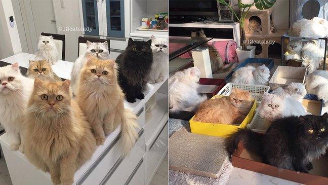 mainphoto 12cast.jpeg?resize=636,358 - [Photos] Cette femme possède 12 chats persans et documente son quotidien sur Instagram.