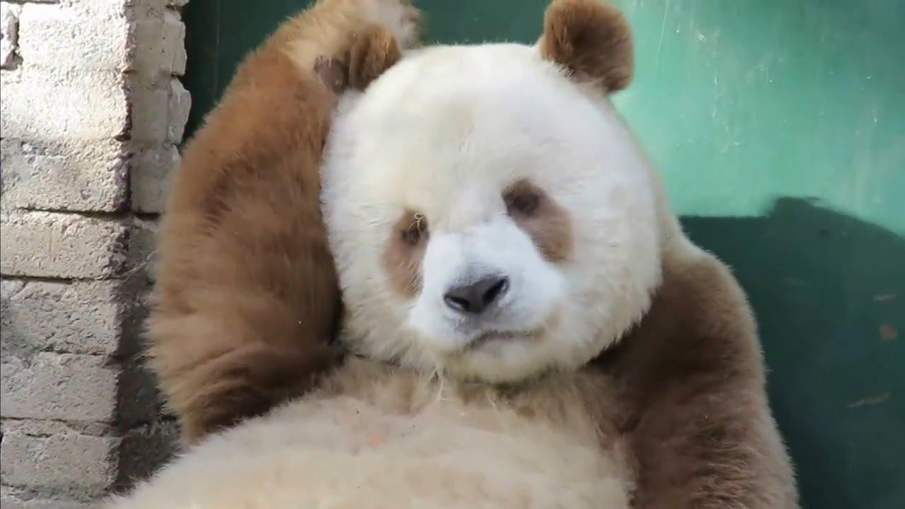 maxresdefault 1 2.jpg?resize=412,232 - 世界唯一「棕色熊貓」,和女友同居60天仍未脫處男!QQ