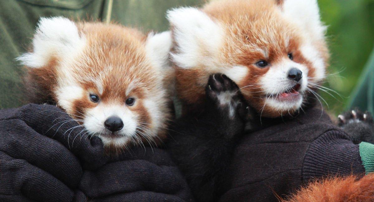 rgz red panda cubs 2016 crop e1474479186280.jpg?resize=1200,630 - Pandas vermelhos gêmeos nascem no zoológico de Nova York e são irresistíveis de tão fofos