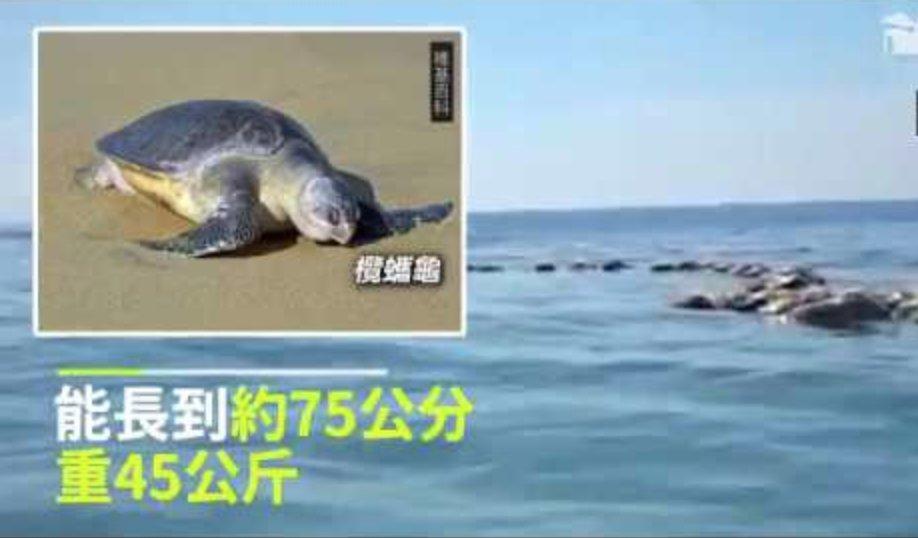 screen shot 2018 09 05 at 12 00 06 pm.png?resize=300,169 - 廢棄漁網纏300隻「瀕臨絕種」的海龜,慘死成海上浮屍...民眾大驚心痛!