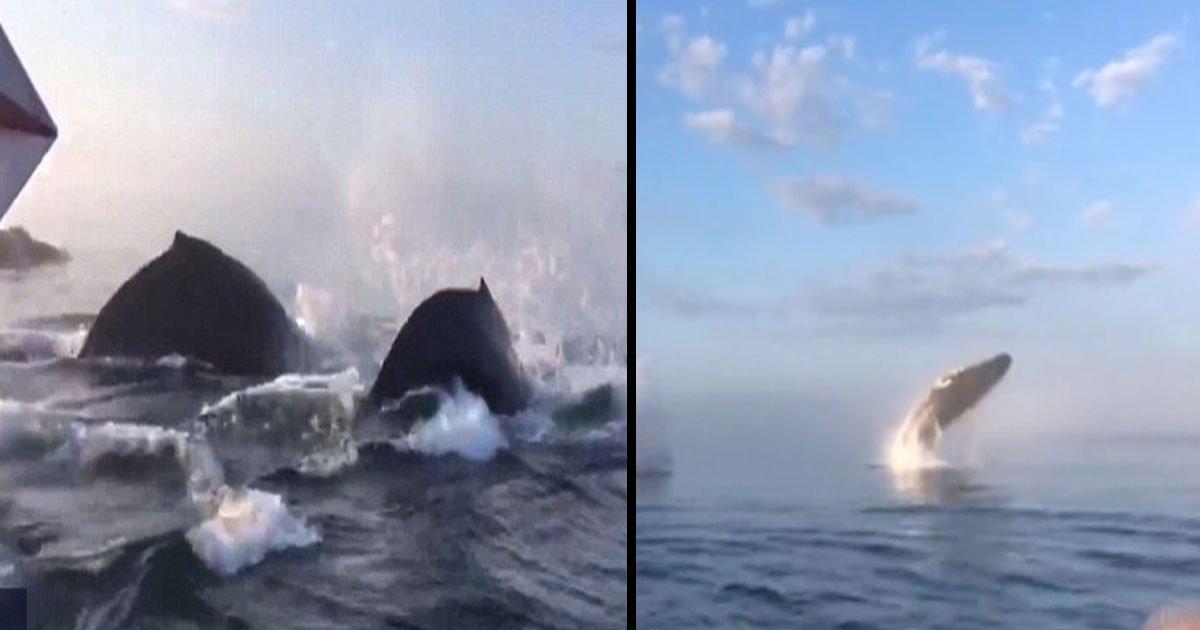 three humpback whales waters nova scotia.jpg?resize=412,232 - Un moment à couper le souffle a été capturé: trois baleines à bosse ont volé vers le ciel sur les eaux de la Nouvelle-Écosse