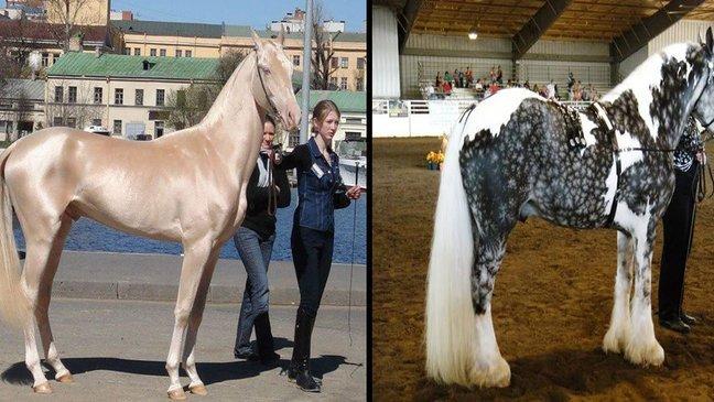 unique color horses in the world 1.jpg?resize=636,358 - 24 cavalos com as cores mais belas e únicas do mundo