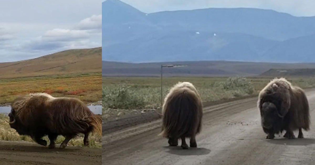 untitled 1 11.jpg?resize=366,290 - Un homme a filmé deux bœufs se battant au milieu de la route