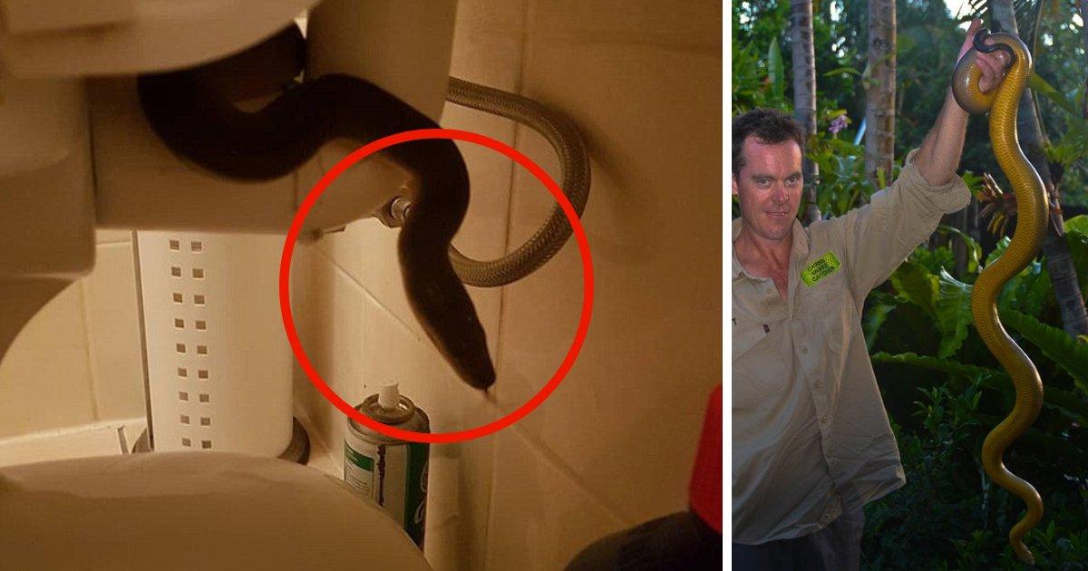 untitled design 13.png?resize=412,232 - Moment terrifiant: un python d'eau a été repéré se cachant dans des toilettes publiques
