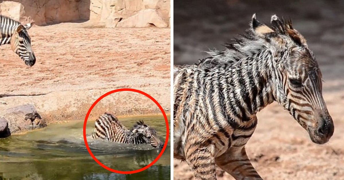 untitled design 34.png?resize=1200,630 - Zookeepers Save Baby Zebra From Drowning After It Fell Into Watering Hole Moments After Birth