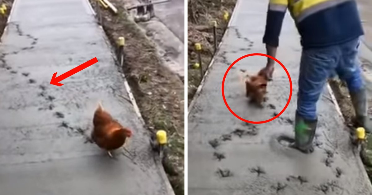 untitled design 44.png?resize=648,365 - Chicken Goes Rogue And Causes Absolute Chaos On Wet Cement