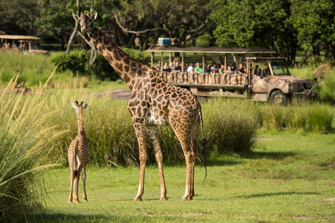 v1.jpg?resize=636,358 - Há uma nova bebê girafa nos parques da Disney, e ela é simplesmente adorável!