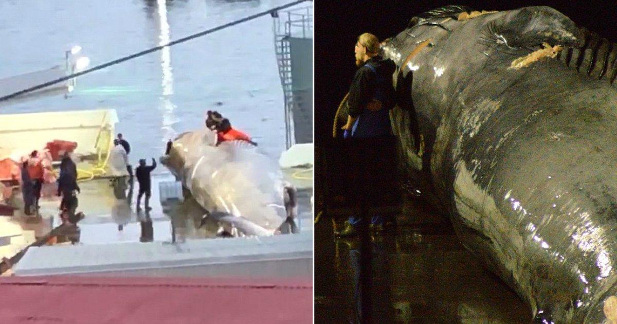 whale killed.jpg?resize=636,358 - Des baleiniers islandais ont tué accidentellement une baleine bleue rare pour la deuxième fois consécutive