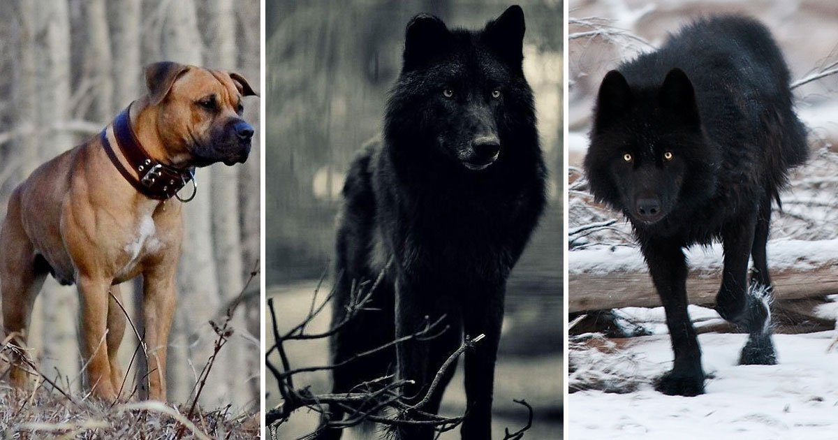 wolf dog.jpg?resize=412,232 - Video Of A Monstrous 7ft Wolf Chasing A Little Dog In The Woods Has Taken The Internet By Storm