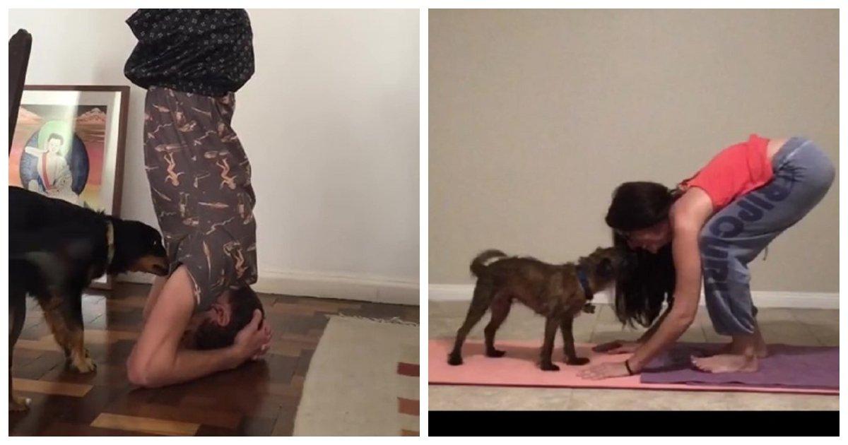 yoga.jpg?resize=1200,630 - Un chien Au Brésil, agité par la position de yoga du poirier de son propriétaire et tente de le faire sortir de la pose