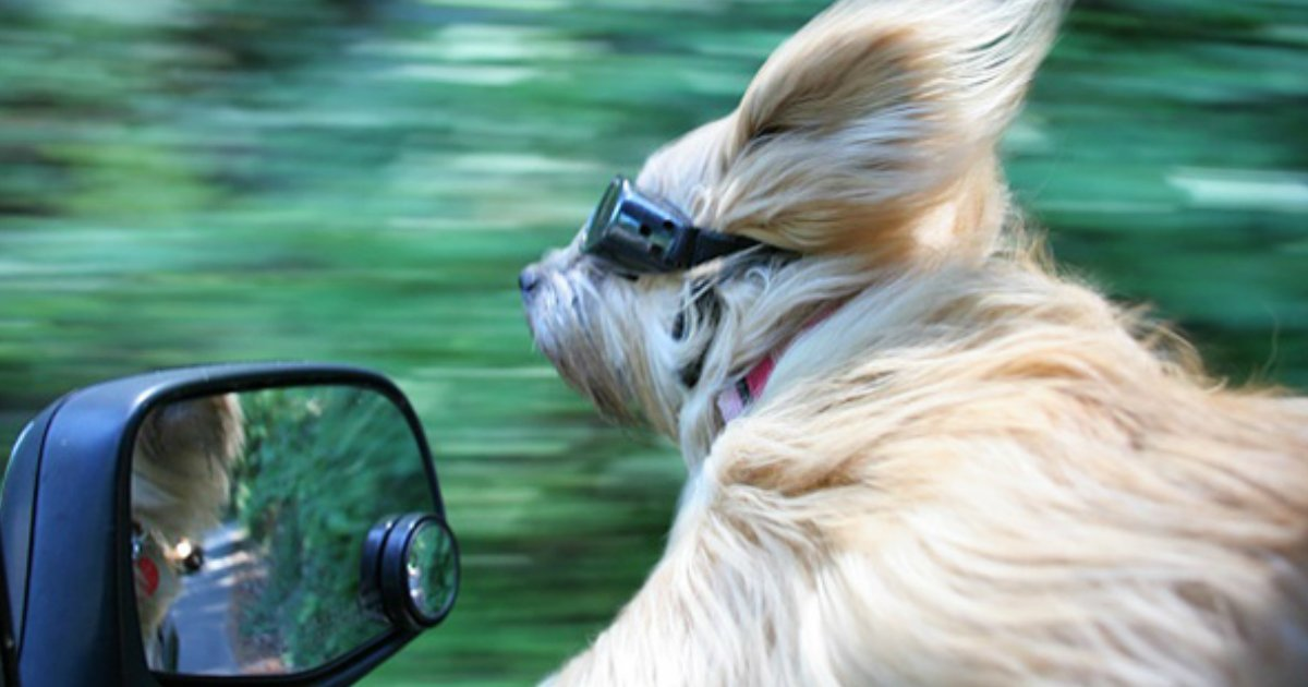 13 6.jpg?resize=1200,630 - 19 Hilarious Dogs Enjoying Car Rides More Than Anything Else In The World