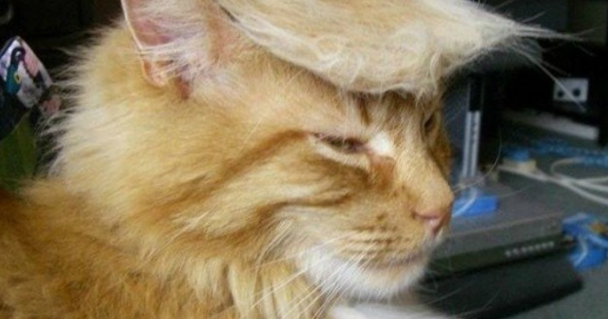 14 6.jpg?resize=1200,630 - 21 Hilarious Photos Of Cats Looking Like Donald Trump. #5 Is Just Purrfect, LOL!