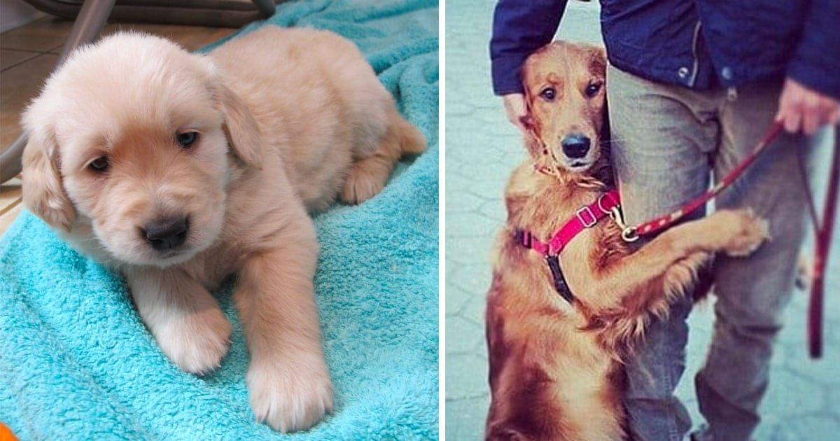 15 1.jpg?resize=1200,630 - You Should Never Adopt A Golden Retriever - Here Are 40 Reasons Why