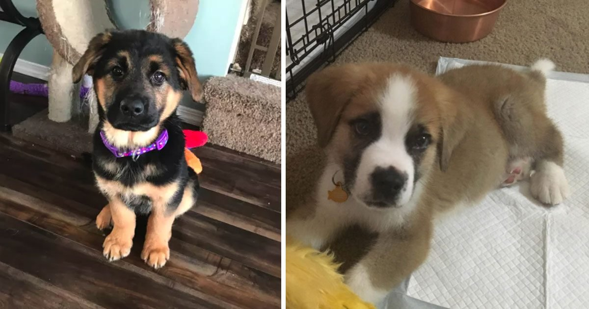 3 241.jpg?resize=1200,630 - Here Are 20 Of The Most Adorable German Shepherd Mixes