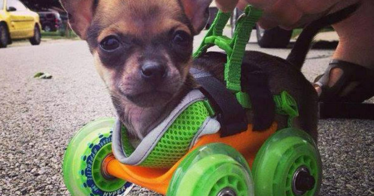 4 13.jpg?resize=1200,630 - These 16 Puppies In Wheelchairs Will Melt Your Heart