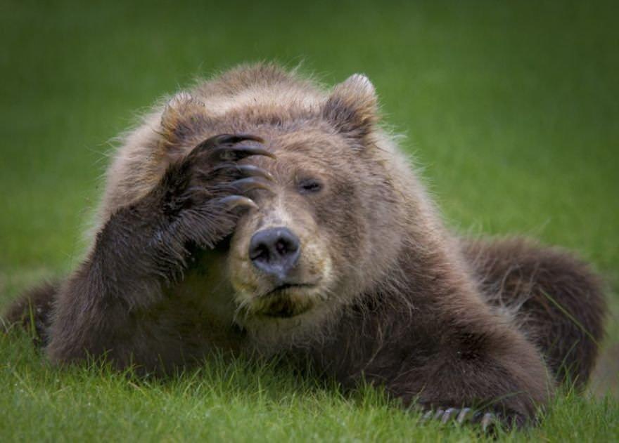 Coastal Brown Bear Cub With Headach
