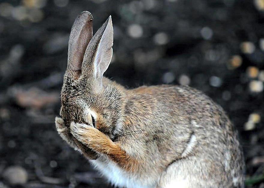 Rabbit Hiding Face In Embarrassment