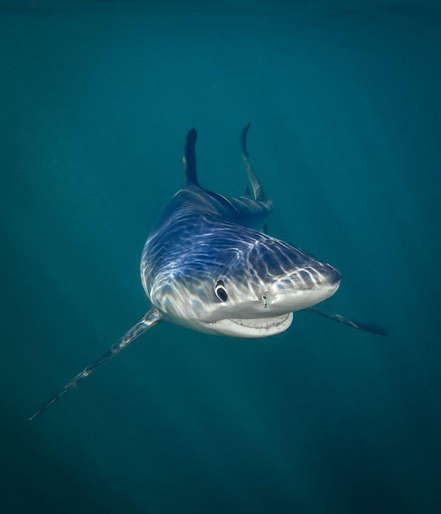 Smiling Blue Shark