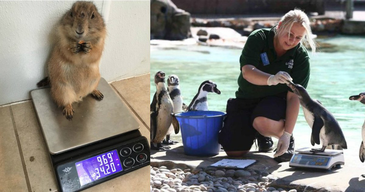 6 201.jpg?resize=1200,630 - These 15 Animals Standing On Scales Perfectly Sum Up Your Fitness Goals