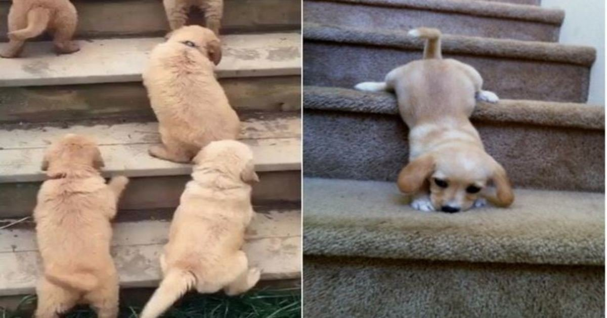 9 35.jpg?resize=1200,630 - 22 Puppies Climbing Stairs For The First Time