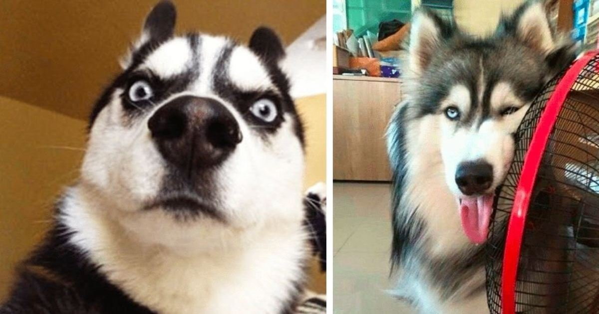 9 68.jpg?resize=1200,630 - 25 Hilarious Photos That Prove Huskies Are The Strangest Dogs Ever