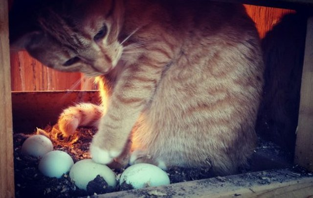 Cat contemplating eggs in a chicken coop.