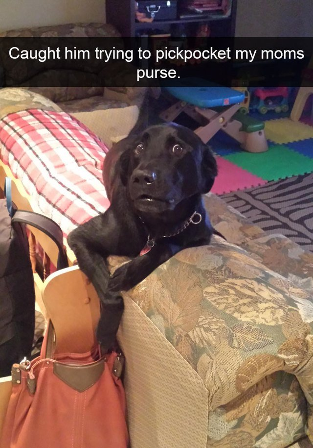 Dog obviously trying to steal out of a purse