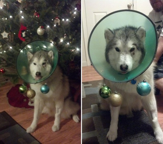 Dog wearing E-collar decorated with Christmas ornaments