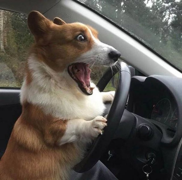 Corgi behind the wheel of a car looking very excited