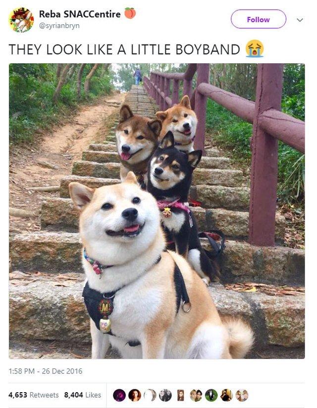 Shiba Inus posing like a boy band.
