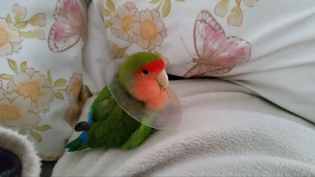 Lovebird wearing E-collar
