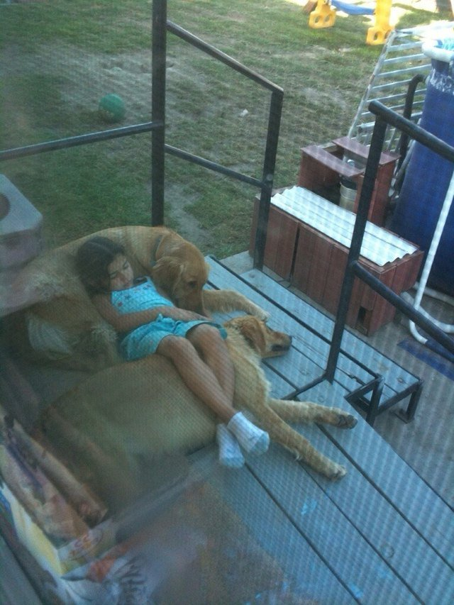 Girl sleeping on two golden retrievers.