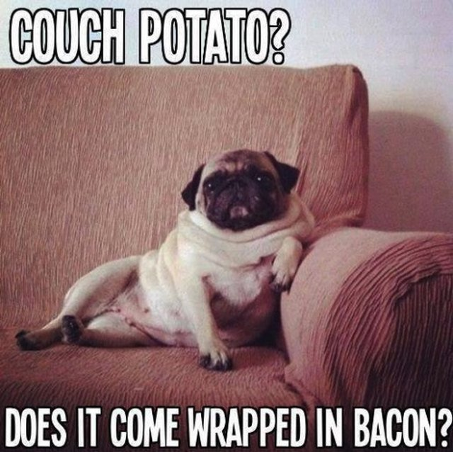 Couch potato pug.