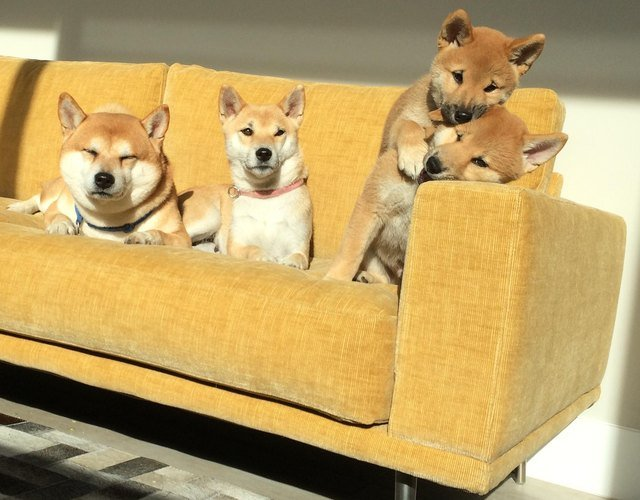 Family of Shiba Inus on a couch.