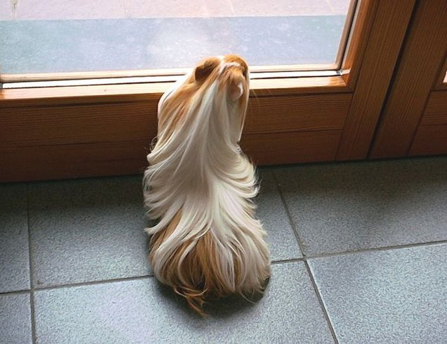Guinea pig with long hair
