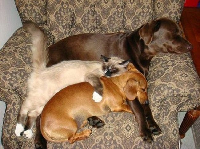 25 Cats Shamelessly Using Their Dog Friends As Pillows. #8 Made My Day.