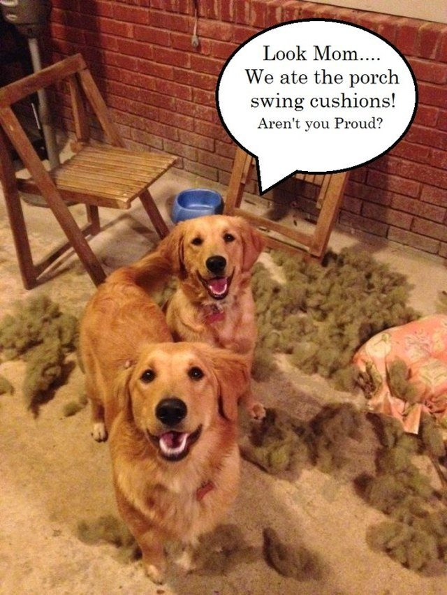 "Golden retrievers surrounded by pillow stuffing with a speech bubble that says ""Look Mom... We ate the porch swing cushions! Aren"