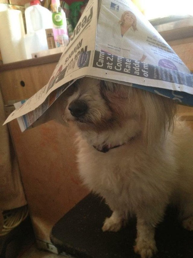 Dog wearing paper captain