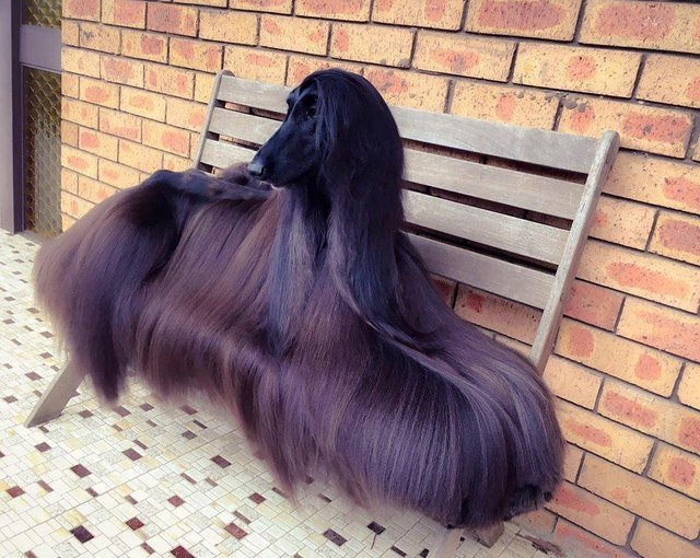 Afghan hound with long, silky hair.